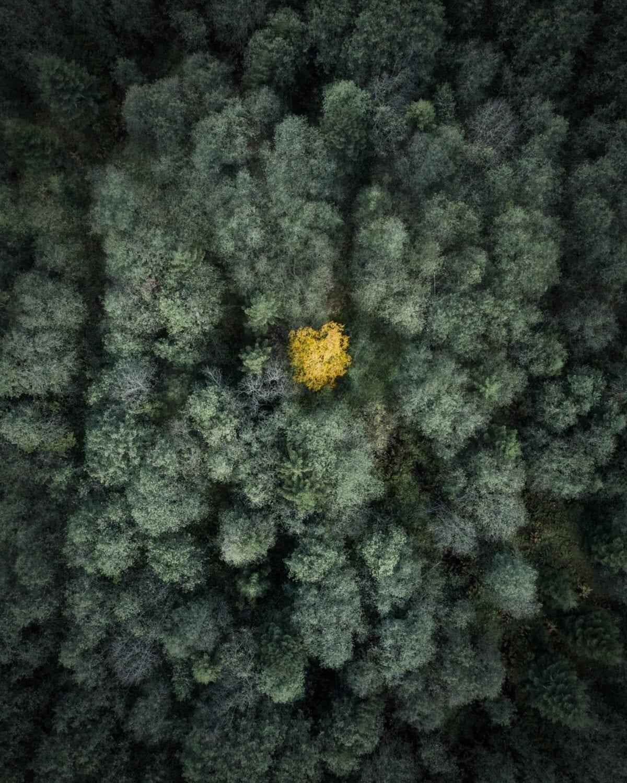 Meier & Kamer Luftaufnahme mit Drohne: einzelner Herbstbaum im Wald